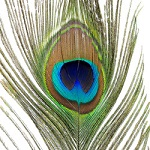 plume de paon